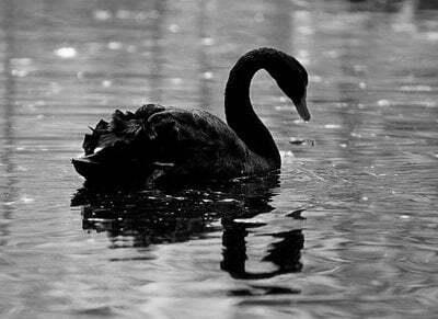 lebada-neagra-alb-negru