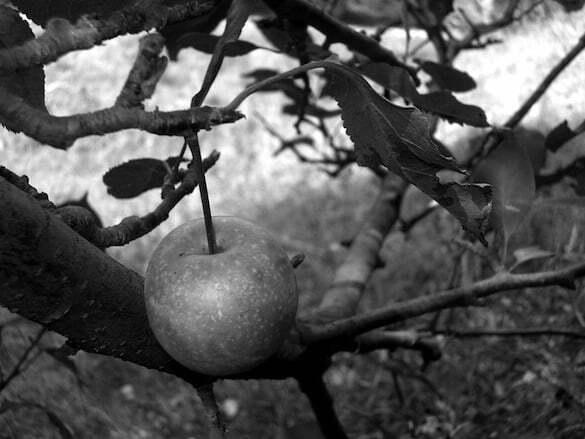 măr pădureț