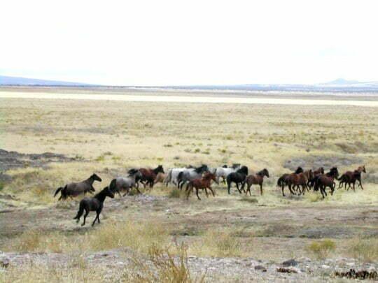 cai sălbatici