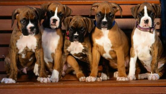 boxer-puppies-wallpaper-550x312