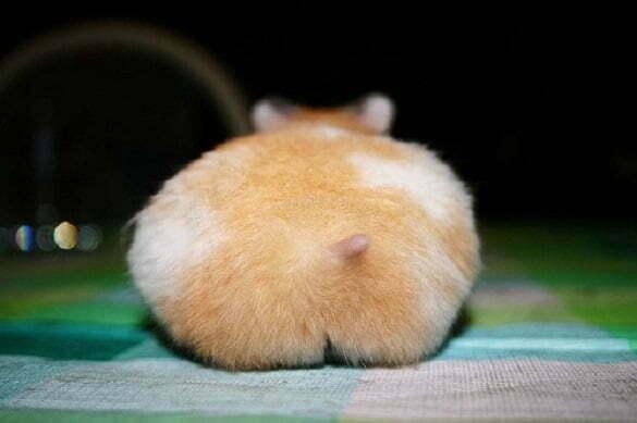 6-cute-hamster