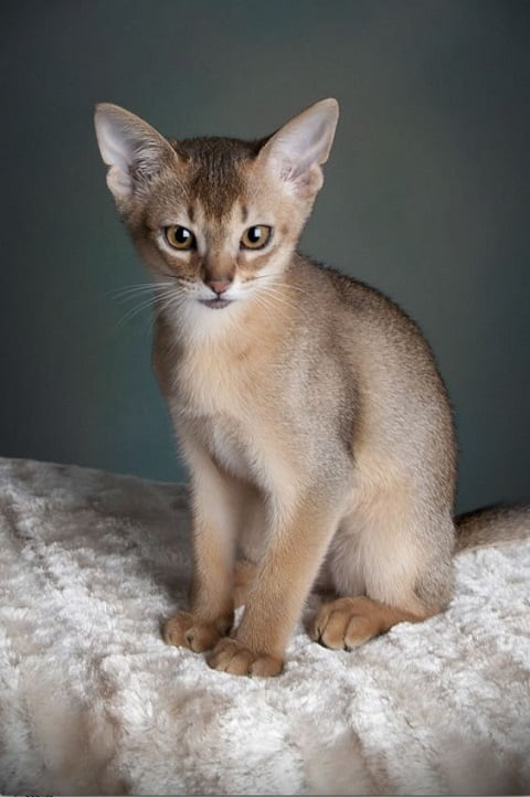 Pisica rasa Singapura-sursa Pinterest.com