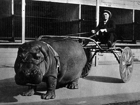 08-Circus-hippo-pulling-a-cart-1924