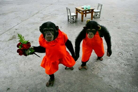 cuplu-maimute