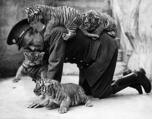 © getty images A zoo keeper and tiger cubs, 1937.