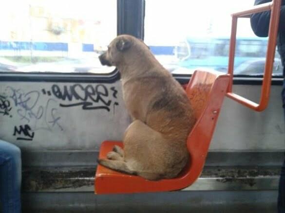 caine tramvai