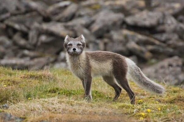 healthy-wild-arctic-fox-602x401