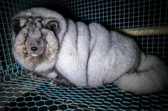 overweight-fox-fur-farm-finland-face-1-602x401