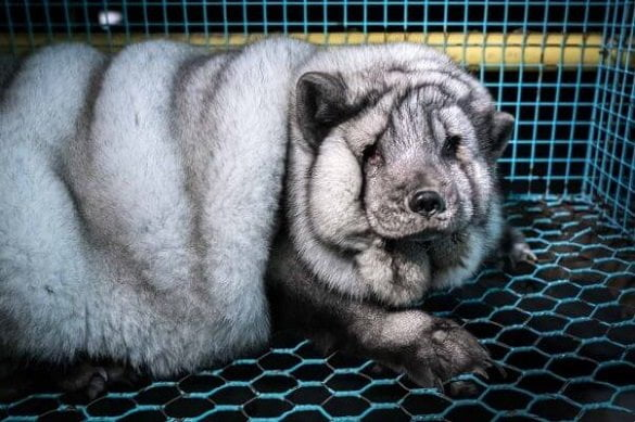 overweight-fox-fur-farm-finland-face-3-602x401