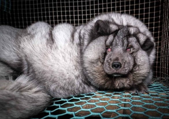 overweight-fox-fur-farm-finland-face-7-602x425-1503358616