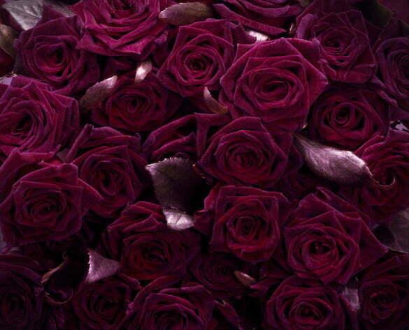 BLACK BACCARA_ROSES