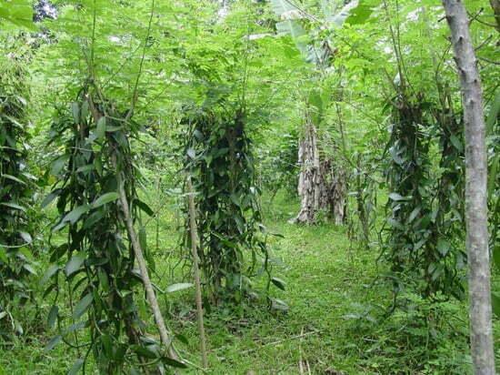 Une-plantation-de-vanille